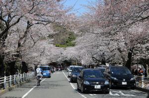 桜のトンネルが