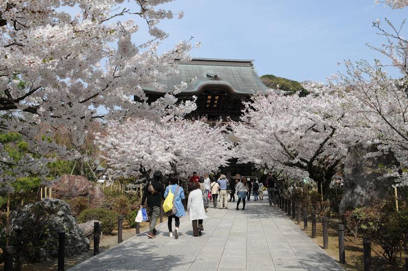 満開の桜と建長寺三門