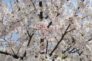 ピンク色の桜が目立ちます
