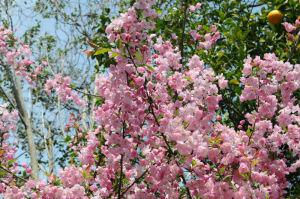 ピンク色の海棠、ほぼ満開