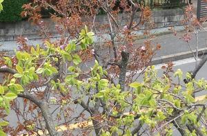 一日で八重桜が大分咲いて