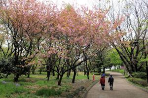 公園内の八重桜