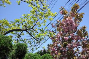 八重桜も雨に打たれて