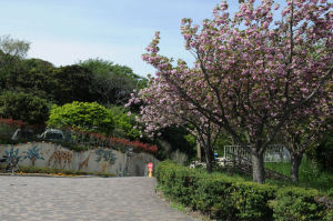 夏山口入口、八重桜が満開