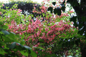 庭に咲く紅いツツジ