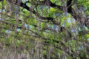 藤棚の葉の緑と青空がきれいです