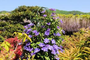 クレマチスの花も色とりどり