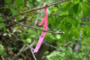 木々の所々にピンクのリボンが