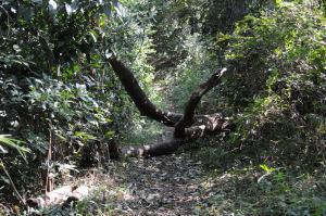 大きな倒木が道を塞いでいます