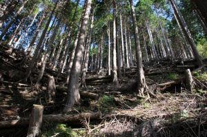 樹木が急斜面に真っ直ぐと