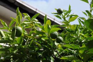 柚子やミカンの生り具合