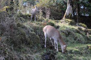 親子とみられる鹿が