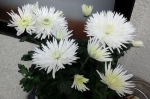 細い白い菊