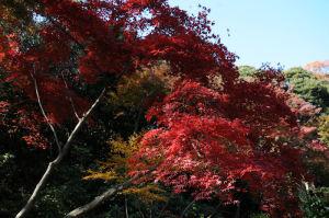 横浜三溪園紅葉が見頃2