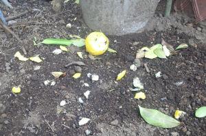 食べられた柚子が