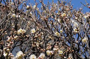 白梅も3分咲き