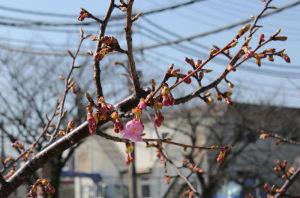 暖かさに誘われて河津桜も