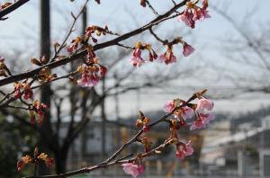 河津桜はきれいです