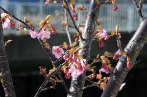 5年ほどの河津桜
