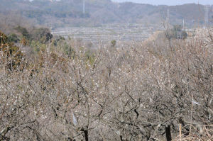 西側の果樹園