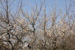 満開の梅の木も