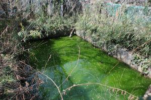緑色した溜池にカエルが