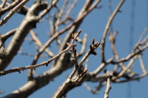 八重桜の蕾はまだまだ