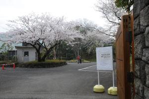 入口の桜も満開