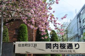 関内桜通り、八重桜見頃