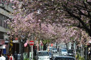 八重桜のアーチがみごと
