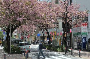 桜の花びらが舞っています