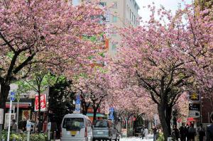 50本ほどの八重桜が