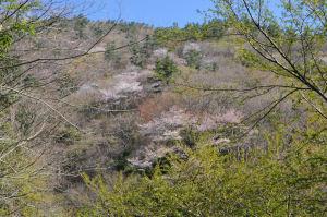 山々の桜は今が満開の様