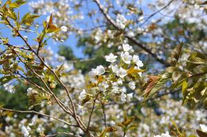 白い山桜がきれいです