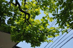 柿の木の葉はすっかり大きくなり