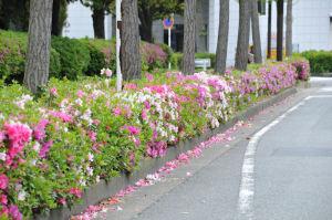 「富岡八幡公園」道路沿いのツツジ