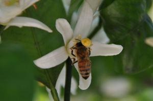 ミツバチも飛んで来ていました