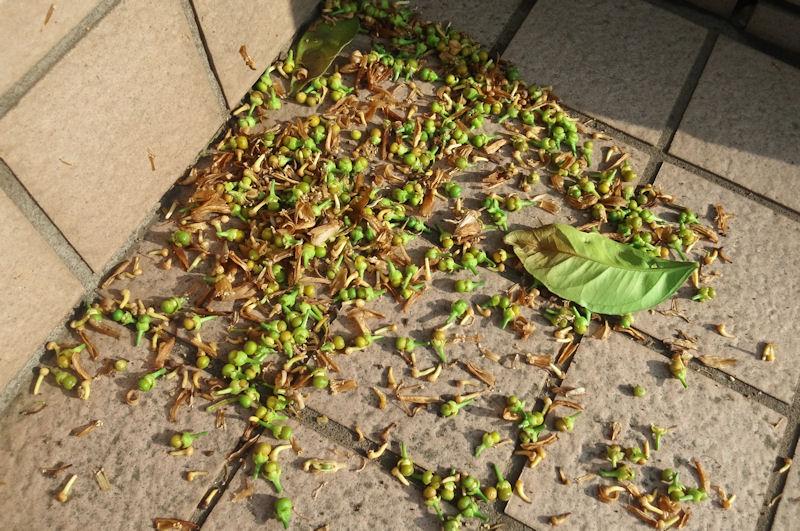 ミカンの小さな実がたくさん落ちています