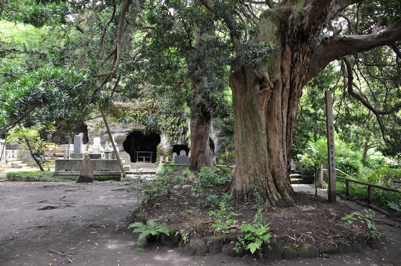 樹齢750年を超えるイヌマキ