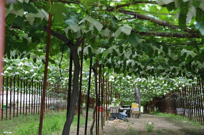 数えきれないほどのブドウの房