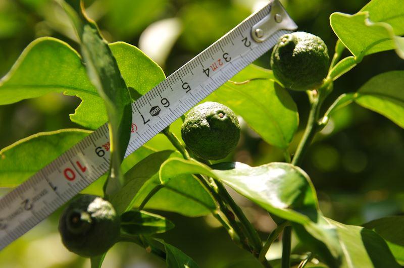 柚子は少し小さく2cmくらい