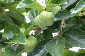 柿も実がくっついて生っているためか