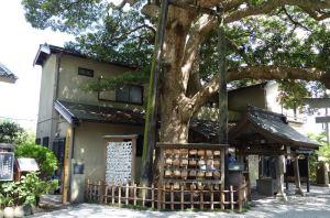 樹齢370年を超えているタブノキ