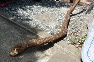 折れたミカンの木