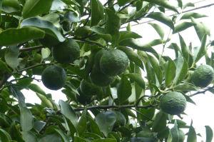 すぐ横にある柚子の木は元気