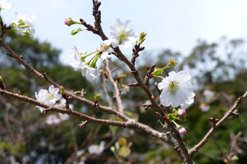 石段の脇に咲いていた10月桜