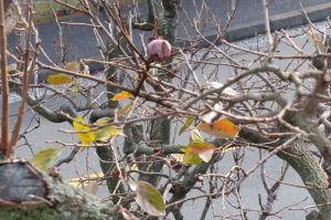 柿の葉は残りわずか
