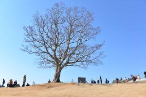 吾妻山のシンボルツリー『榎』