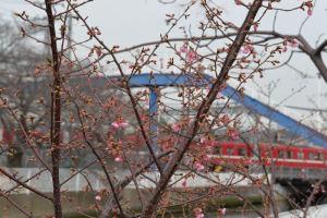 だいぶ咲き始めた木も