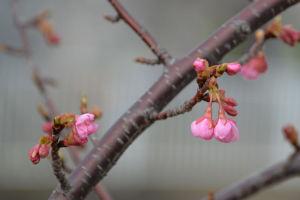 咲く時期を知るのでしょうか